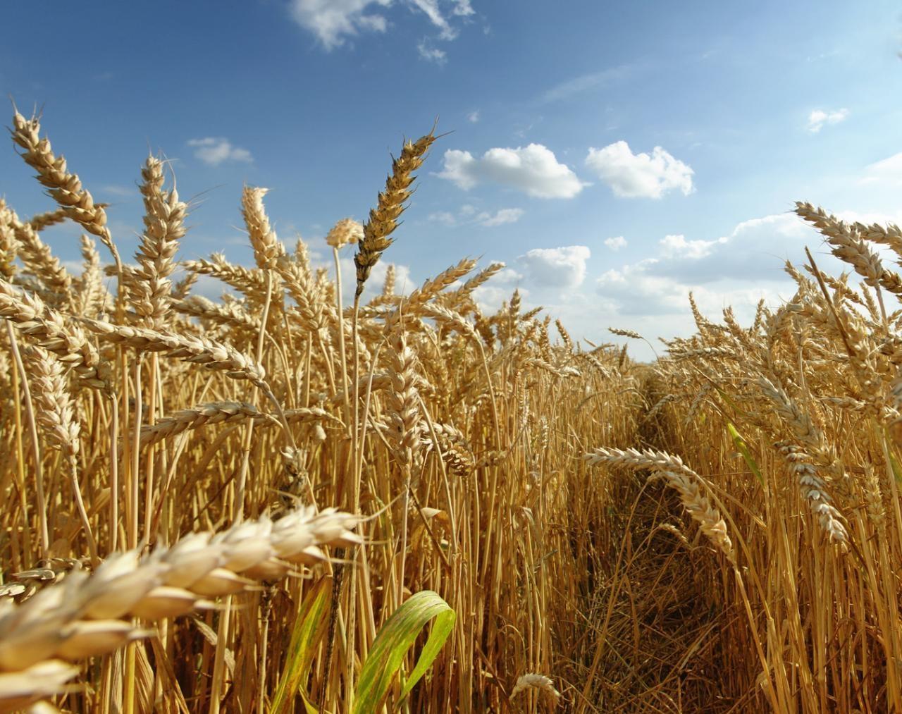 можно пшеница красивые фотографии стоило